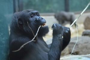 Macaco com galha na boca.