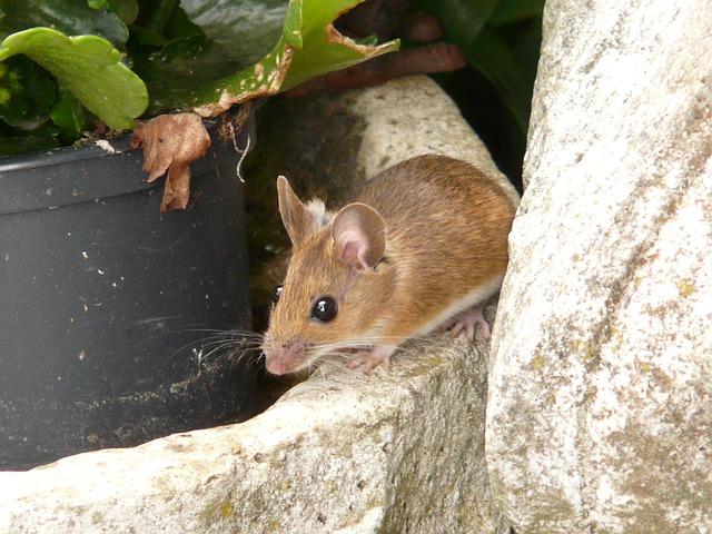 Desvende o significado de sonhar com ratos. (Foto: Reprodução)