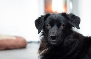 Cachorro preto