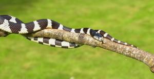 Cobra na árvore